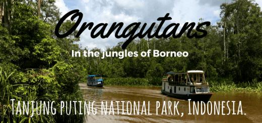 Orangutans-in-the-jungles-of-Borneo-tanjung-puting-national-park-Indonesia